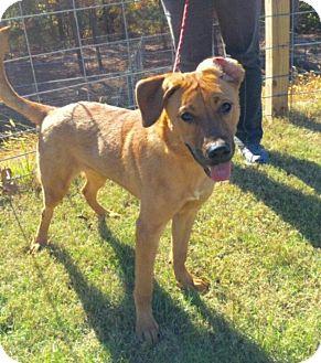 Labrador Retriever/Shepherd (Unknown Type) Mix Dog for adoption in Rexford, New York - Mayson
