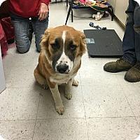 Adopt A Pet :: Beta pending adoption - Manchester, CT