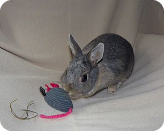 Netherland Dwarf for adoption in North Gower, Ontario - Trixi
