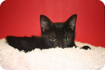 Bombay Kitten for adoption in SILVER SPRING, Maryland - GEORGE