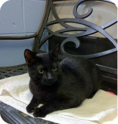 Domestic Shorthair Cat for adoption in Schererville, Indiana - Jet