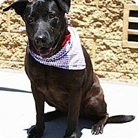 Adopt A Pet :: Midnight - Gilbert, AZ