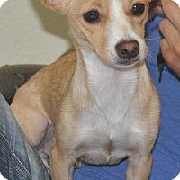 Adopt A Pet :: Sia - Tumwater, WA