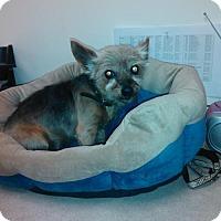 Adopt A Pet :: Braveheart - Goodyear, AZ