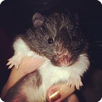 Adopt A Pet :: Madeline - Bensalem, PA
