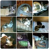 Adopt A Pet :: Dorothy - DFW Metroplex, TX