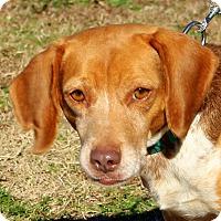 Adopt A Pet :: Princess Leia~ meet me! - Glastonbury, CT