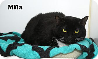 Domestic Shorthair Cat for adoption in Oakland, New Jersey - MIla