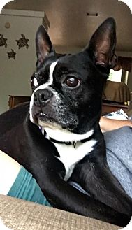 Boston Terrier Dog for adoption in Lake Mary, Florida - Rocky and Duke Evers