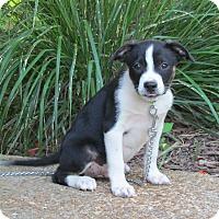 Adopt A Pet :: SIMON - Bedminster, NJ