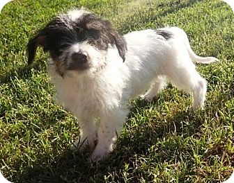 Chihuahua/Terrier (Unknown Type, Small) Mix Puppy for adoption in Gilbert, Arizona - Fajita