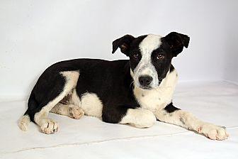Australian Cattle Dog/Shepherd (Unknown Type) Mix Puppy for adoption in St. Louis, Missouri - Keefer HeelerShep