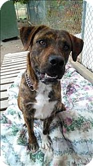 Coonhound/Labrador Retriever Mix Dog for adoption in Vernon, British Columbia - Boost