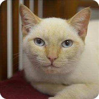 Siamese Cat for adoption in Mipiltas, California - Pixel
