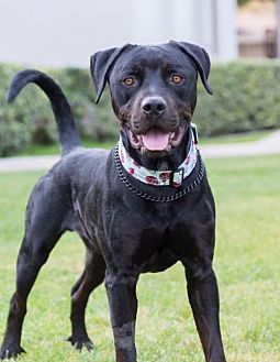 Mastiff Mix Dog for adoption in San Diego, California - Tanner