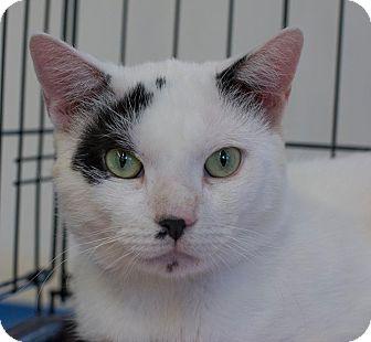Domestic Shorthair Cat for adoption in New York, New York - Edison