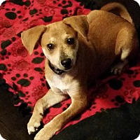 Adopt A Pet :: Cooper (Kopper) - Tampa, FL