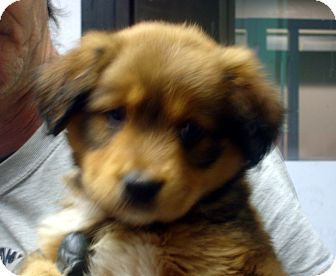 German Shepherd Dog/Australian Shepherd Mix Puppy for adoption in baltimore, Maryland - Ewok