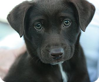 Labrador Retriever Mix Puppy for adoption in Canoga Park, California - Bearess