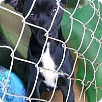 Adopt A Pet :: Presley - Pembroke, GA