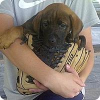Adopt A Pet :: Cajun - Richmond, VA