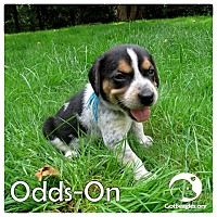 Adopt A Pet :: Odds-On - Novi, MI