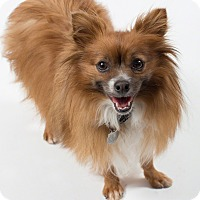 Adopt A Pet :: Gingerbread - Santa Barbara, CA