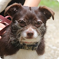 Adopt A Pet :: BUDDY - cannot get cuter! - Chicago, IL