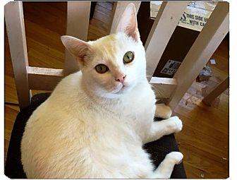 Domestic Shorthair Cat for adoption in Burlington, Ontario - Casper