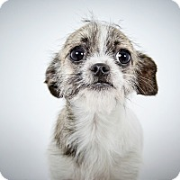 Adopt A Pet :: Arabella - New York, NY