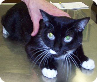 Domestic Shorthair Cat for adoption in Sterling, Kansas - Zia