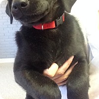 Adopt A Pet :: BLACK LAB FEMALE - Pompton Lakes, NJ