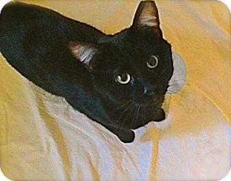 Domestic Shorthair Kitten for adoption in O'Fallon, Missouri - J.P.