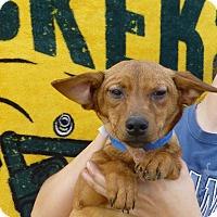 Adopt A Pet :: Brownie - Oviedo, FL
