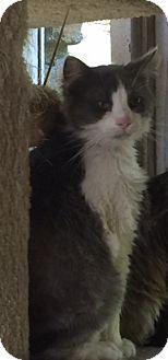 Domestic Shorthair Cat for adoption in Covington, Kentucky - Gus
