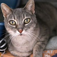 Domestic Shorthair Cat for adoption in St Louis, Missouri - Amy