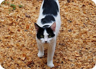 American Shorthair Cat for adoption in Salem, West Virginia - Spunky