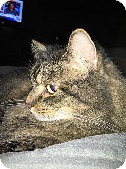 Maine Coon Cat for adoption in Garden City, Michigan - PK - Adoption Pending