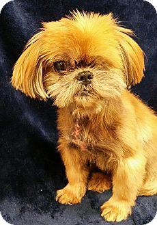 Shih Tzu Mix Dog for adoption in Urbana, Ohio - Cubby Turner