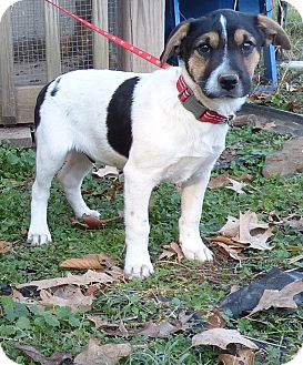 Feist/Boxer Mix Puppy for adoption in Bedminster, New Jersey - Dasher