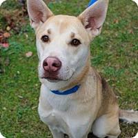 Siberian Husky/Shepherd (Unknown Type) Mix Dog for adoption in Chester Springs, Pennsylvania - Rosco