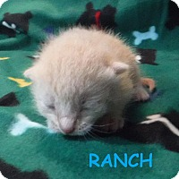 Domestic Shorthair Kitten for adoption in Batesville, Arkansas - Ranch