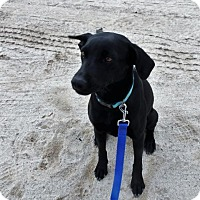 Adopt A Pet :: Gypsy - Small, Georgeous Lab Girl - Seattle, WA