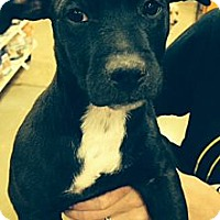 Adopt A Pet :: Brutis - Ooltewah, TN