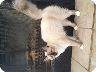 Ragdoll Cat for adoption in Del Rio, Texas - Pollox