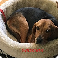 Adopt A Pet :: BOURBON - Ventnor City, NJ
