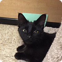 Bombay Cat for adoption in Atlanta, Georgia - Apple