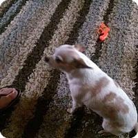 Adopt A Pet :: Little Bit - Wallingford Area, CT