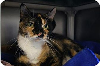 Domestic Shorthair Cat for adoption in New Milford, Connecticut - Patches