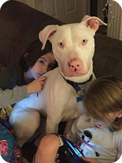 Dogo Argentino Dog for adoption in Brooklyn, New York - Simon